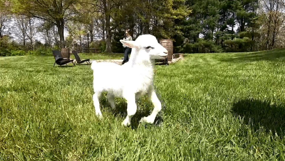 Leo, a lamb born with deformed legs, is defying the odds