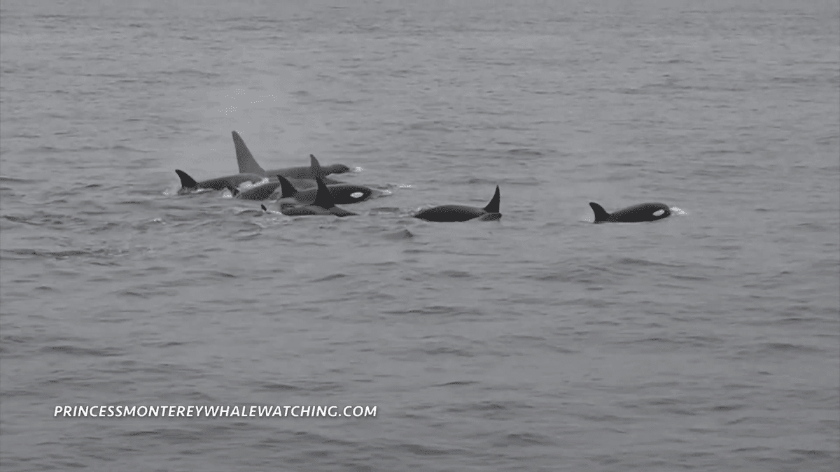 Large group of orcas spotted off California coast